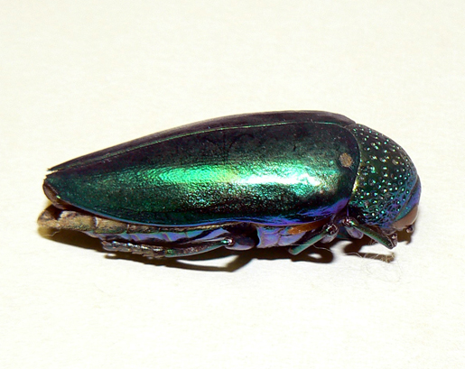 An iridescent beetle from Southeast Asia.