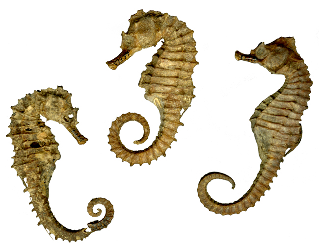 A trio of dried seahorses from the Longfellow House - Washington's Headquarters NHS museum collections.