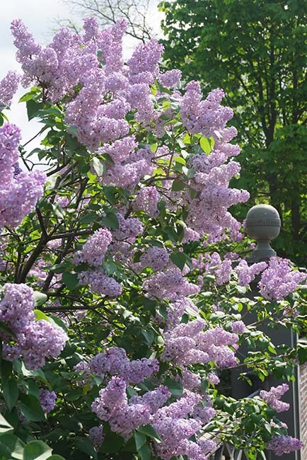 Lilac bush in bloom with pale purple flowers