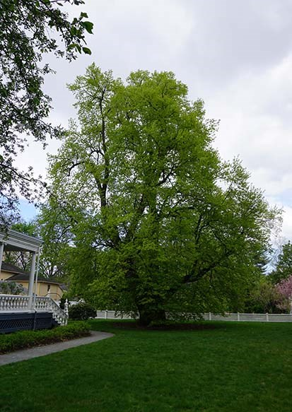 Large tree with green leaves on lawn next to yellow porch