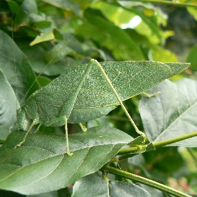 An Angular Winged Katydid dines on a leaf.
