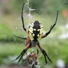 A Black and Yellow Argiope in its web.