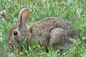 A cottontail rabbit grazing on the lawn.