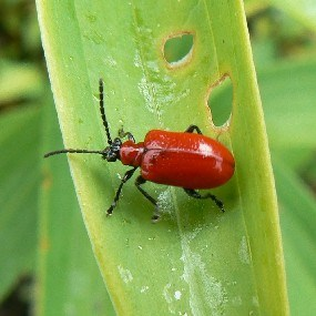 A Lily Leaf Beetle in the Longfellow garden.  Note the holes in the leaf from the beetle's eating.