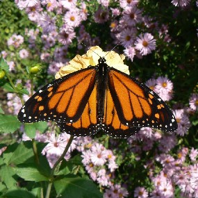 Monarch butterfly in the Longfellow garden.