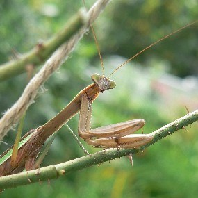 Praying Mantis, photographed on a rosebush in the Longfellow garden.