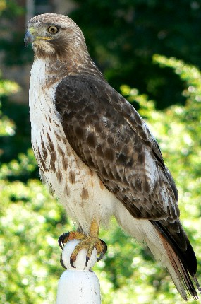 Red-tailed Hawk. Photographed on balcony rail at Longfellow National