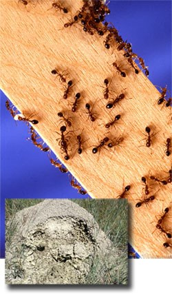 Red Imported Fire Ants and inset picture of ant mound