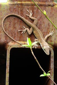 A green anole