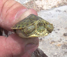 Texas Cooter Turtle