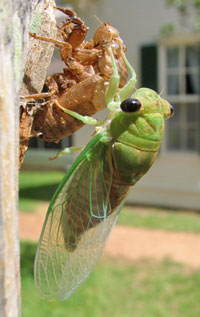 A recently emerged cicada hangs on the fence at the Boyhood Home