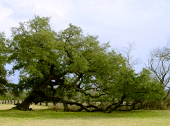 Live Oak at Johnson Settlement
