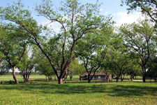 Pecan Trees at the Reconstructed Birthplace