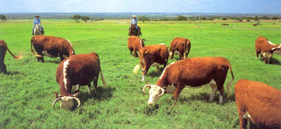 Working Hereford cattle on the LBJ Ranch