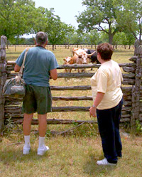 Visitors enjoy viewing longhorn cattle at the Johnson Settlement
