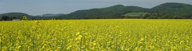 Yellow field of canola plants.