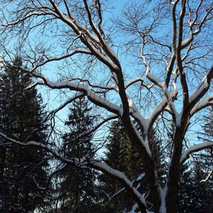 Snowy tree in winter at Marsh-Billings-Rockefeller NHP