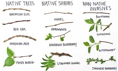 Tree branch species