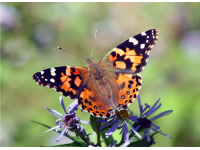 Autumns in the Air Painted Lady Butterfly Credit E Sharron 400x300