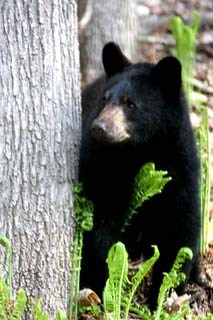 Black Bear looks out from behind a tree