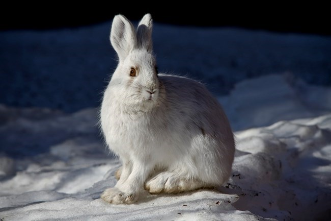 Snowshoe hare in winter