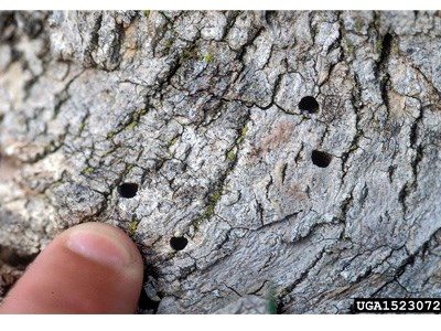 Small holes in a tree bark made by Emerald Ash Borer Insect