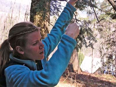 Woman examining Hemlock branch for signs of Woolly Adelgid