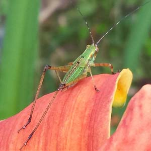 Little green leaf hopper on Day Lily