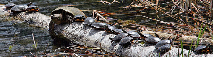 Snapping Turtle and 17 Painted Turtles