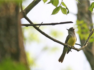 Great Crested Flycatcher bird on branch 400x300