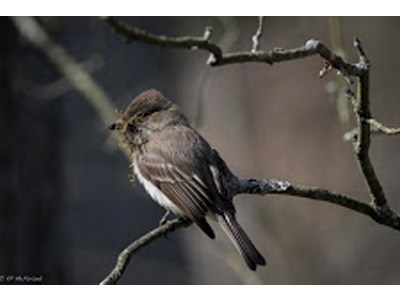 Eastern Phoebe with moss in beak