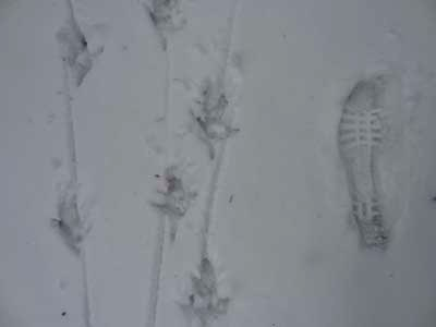 Animal tracks in snow next to a footprint