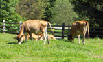 On a sunny summer day, two tan Jersey cows munch on grass, while  others rest behind her. NPS Photo.