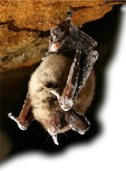 Bat Displaying Symptoms Of White Nose Syndrome Image Courtesy Peter Youngbaer