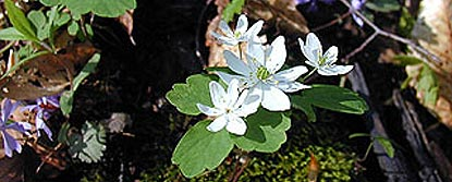 Rue Anemone and Blue Phlox