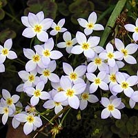 Wildflower - Bluets - Houstonia caeruea