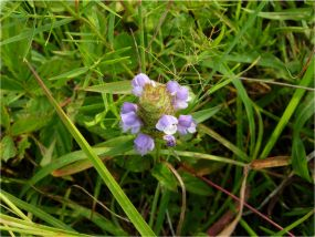 CommonSelfheal PrunellaVulgaris