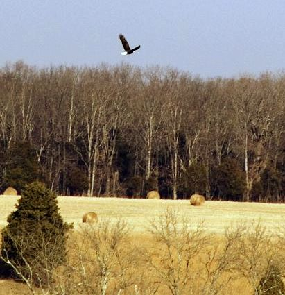 Eagle soaring over the natural features of Manassas National Battlefield Park