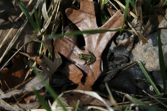 Amphibian near a vernal pool