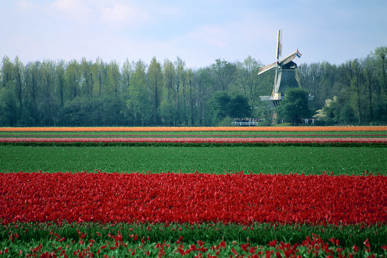 Dutch windmill and tulips