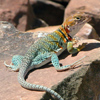 Collared lizard on a rock.