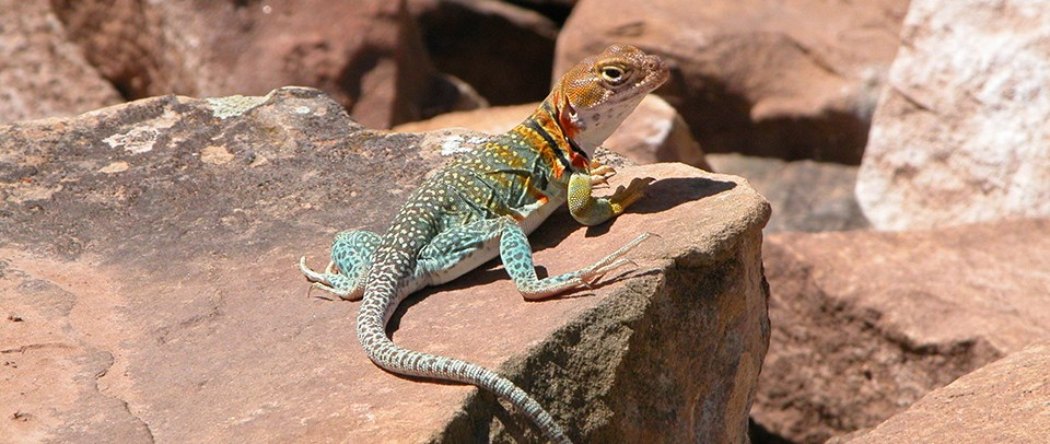 Collared lizard on rock
