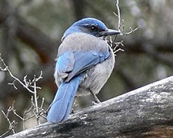 Profile of a blue-gray scrub jay standing on branch