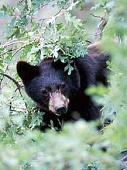Black bear peeking through branches of a tree