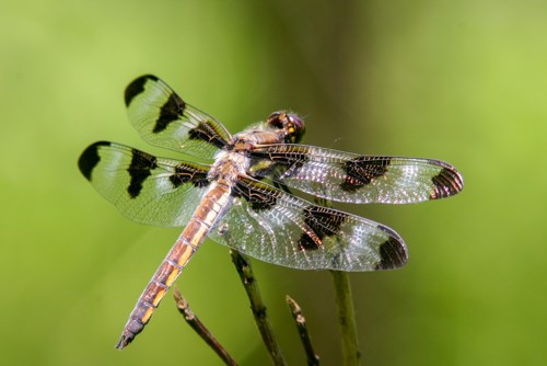 A large white and black winged dragonfly perched on a twig.