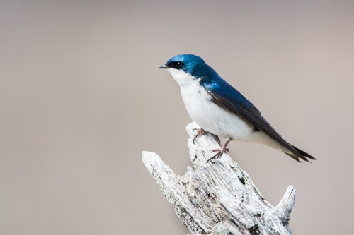 Tree Swallow (Tachycineta bicolor) - Mississippi National ...