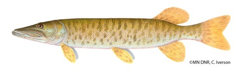 A large but long, slender fish.
