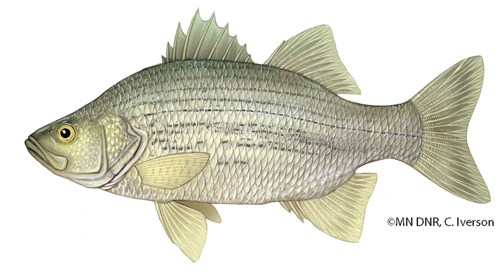 A medium-sized white fish with small dark broken lines on its sides.