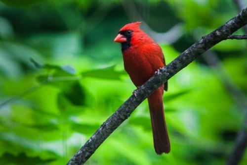 The Northern Cardinal Cardinalis Cardinalis Mississippi National