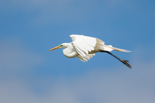 Large, white bird with long black legs flies across a blue sky.